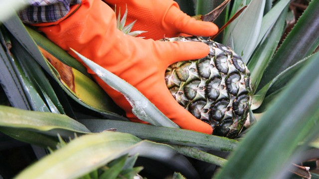 6-Mature-pineapple-gets-picked.-640x360